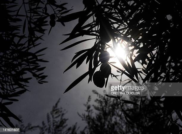 A closeup shows olives on a tree on March 6 2012 on a 40hectare farm in the southern Spanish village of Iznajar between Cordoba and Grenada Olive oil...