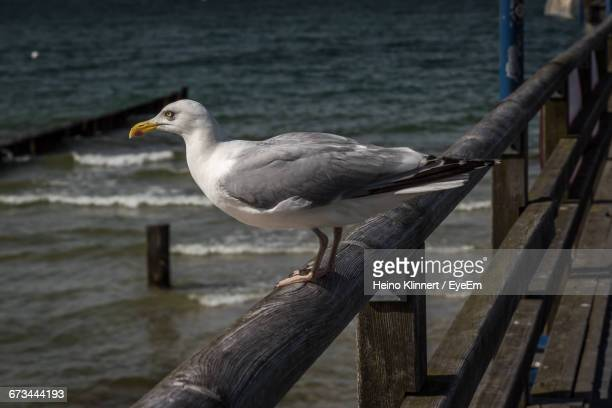 close-up side view of a bird against water - fischland darss zingst photos et images de collection