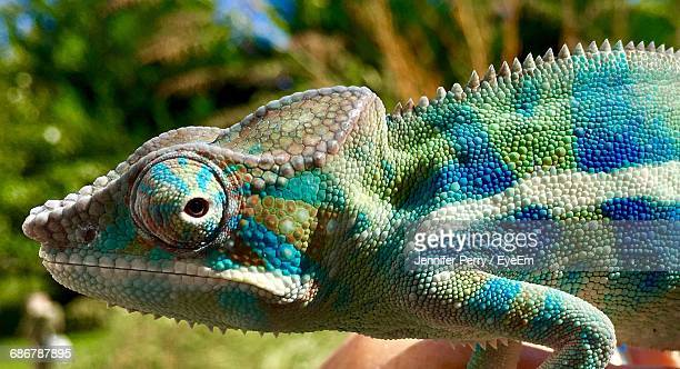 Close-Up Side View Of A Chameleon