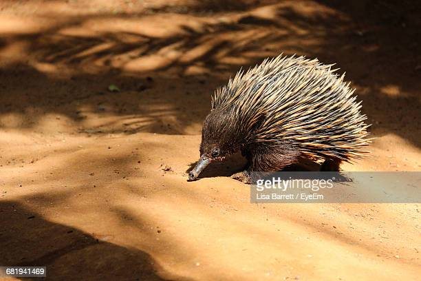 close-up side view of a porcupine - porcupine stock photos and pictures
