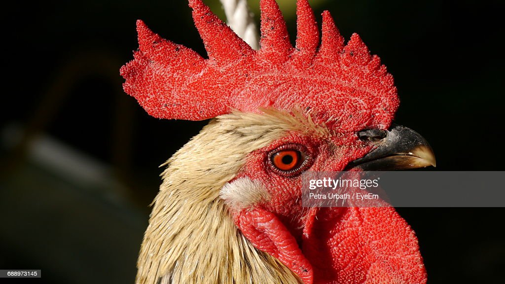 Close-Up Side View Of A Rooster : Stock Photo