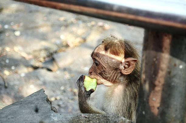 Close-Up Side View Of A Young Monkey Eating Fruit