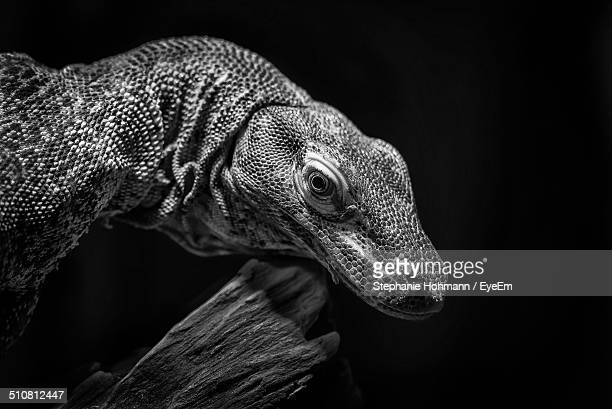 Close-up side view of Baby Komodo Dragon over black background