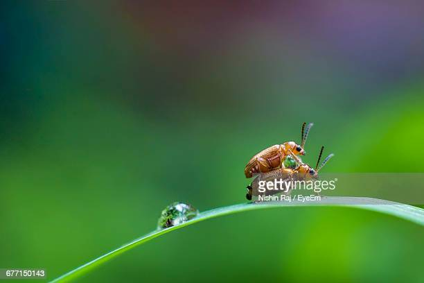 close-up side view of insects mating - tierpaarung stock-fotos und bilder