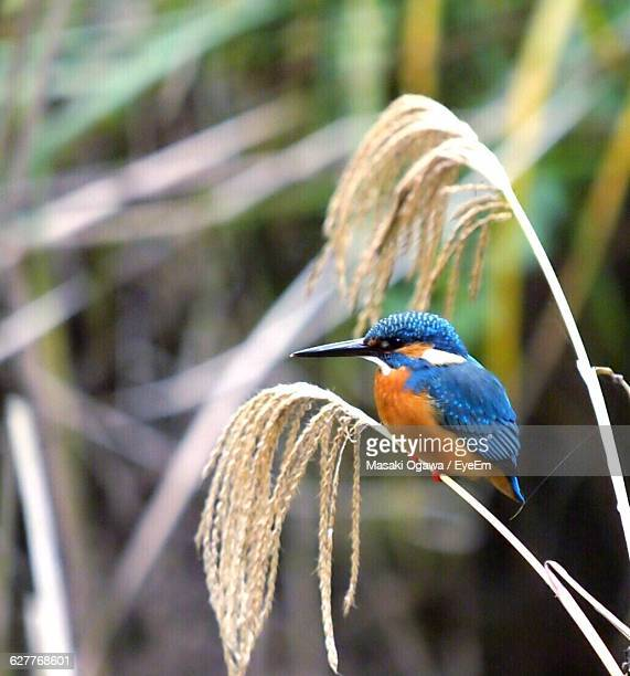 Close-Up Side View Of Kingfisher On Stem