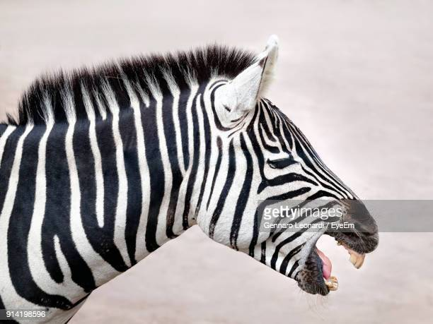 Close-Up Side View Of Zebra