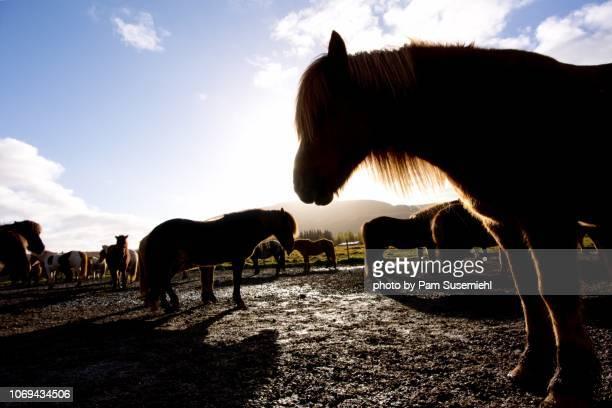 close-up silhouette of icelandic horses in corral - inclinando se - fotografias e filmes do acervo