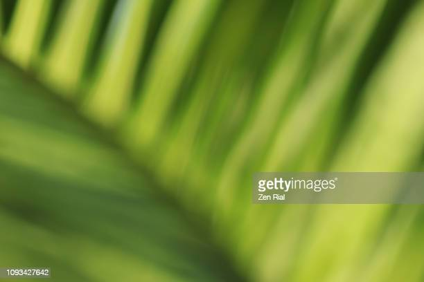 close-up soft focused coconut palm frond - grüner hintergrund stock-fotos und bilder