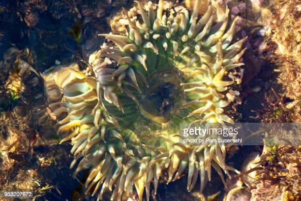 close-up, starburst anemone in tide pool - rancho palos verdes stock pictures, royalty-free photos & images