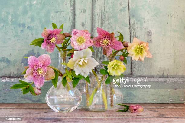 close-up, still-life image of a collection of pretty spring hellebore flowers also known as lenten roses with rustic background - flower head stock pictures, royalty-free photos & images