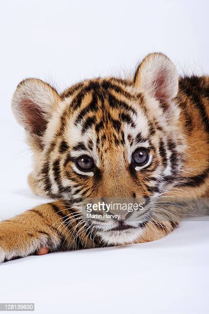 Closeup studio portrait of two month old Tiger cub, Panthera tigris. Dist. Asia but extinct in much of its range. (PR: Property Released)