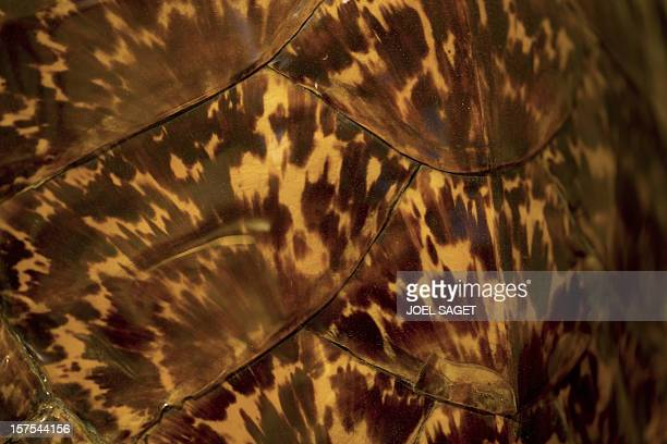 A closeup taken on November 14 2012 shows a tortoiseshell in the Sens' workshop of the Maison Bonnet company specialized in luxury eyewear Four...