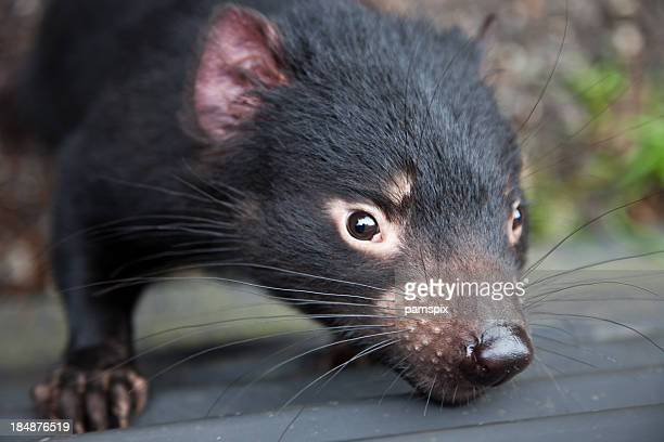closeup tasmanian devil - wildlife stock pictures, royalty-free photos & images
