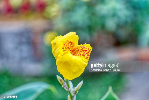 close-up the beautiful canna lily flower is blooming in the garden in front of a farmer's house - canna lily stock pictures, royalty-free photos & images