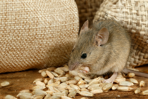closeup the mouse eats the grain near the burlap bags on the floor of the pantry 889101368