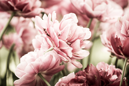 close-up Tulip - gettyimageskorea