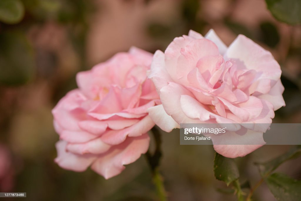 Closeup two pink roses : Foto de stock