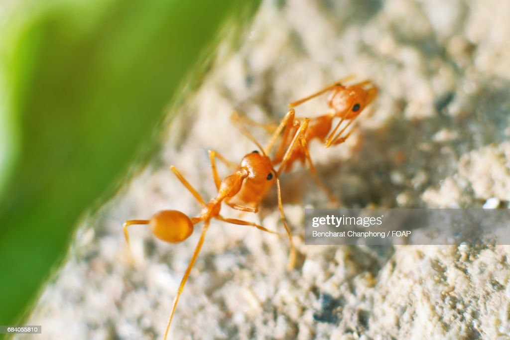 Closeup Two Working Ants Stock Foto Getty Images