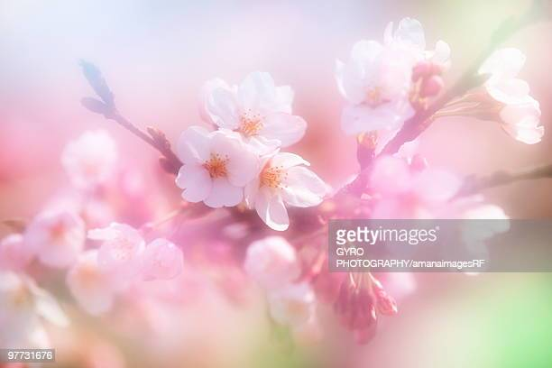 Close-up up flowers on a cherry tree