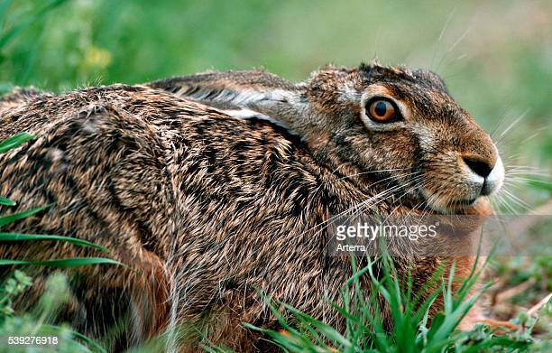 Closeup van liggende haas in weide Belgie Closeup of European / Brown Hare in field Belgium
