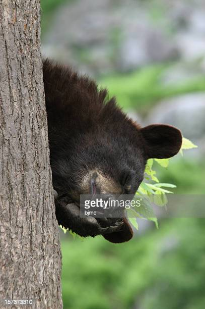 Close-up Vertical of Black Bear Cub Asleep in Tree