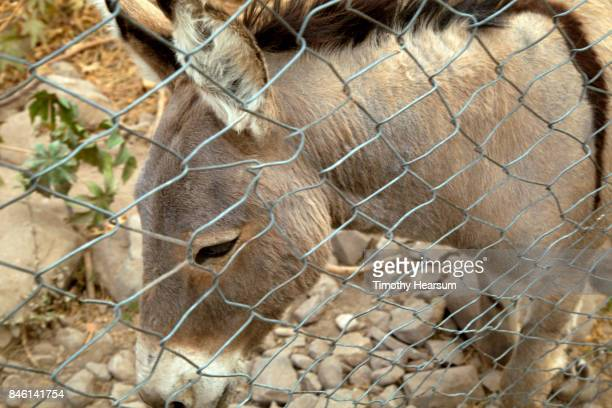 close-up view of a burro behind a chain link fence - timothy hearsum stock pictures, royalty-free photos & images
