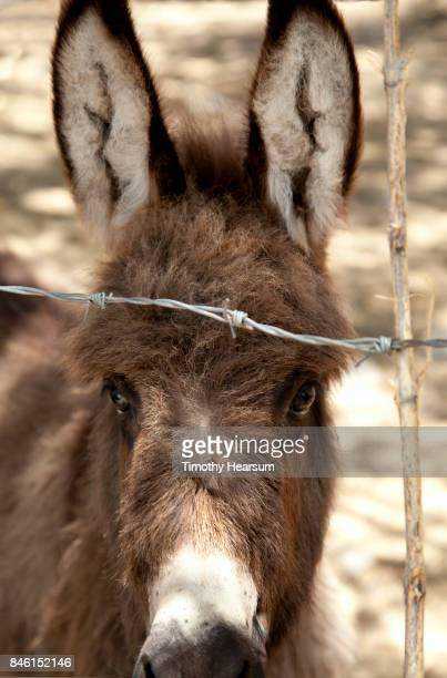 close-up view of a burro's head as he looks through a barbed wire fence - timothy hearsum stock photos and pictures