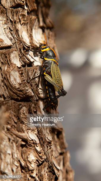 close-up view of a cicada climbing up a pine tree trunk - timothy hearsum stock pictures, royalty-free photos & images