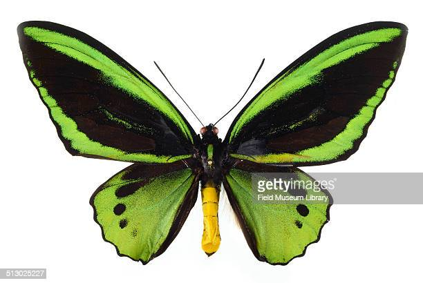 Closeup view of a Common Green Birdwing butterfly specimen Ornithoptera primamus poseidon May 30 1990