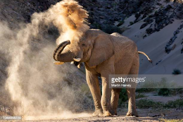4k close-up view of a desert elephant standing and dust bathing in the hoanib valley, namib desert, namibia - hd format stock pictures, royalty-free photos & images