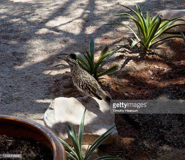 close-up view of a greater roadrunner (geococcyx californianus) perching on a rock in a desert garden. - timothy hearsum stock pictures, royalty-free photos & images