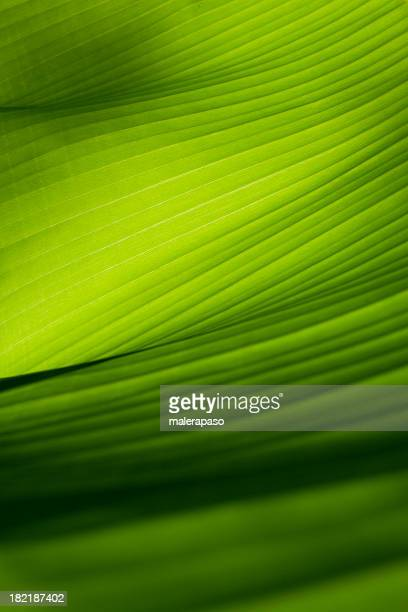 closeup view of a green banana leaf - banana tree stock pictures, royalty-free photos & images