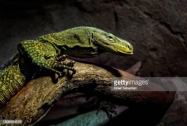 close-up view of a komodo dragon perched on a tree branch - komodo fotografías e imágenes de stock