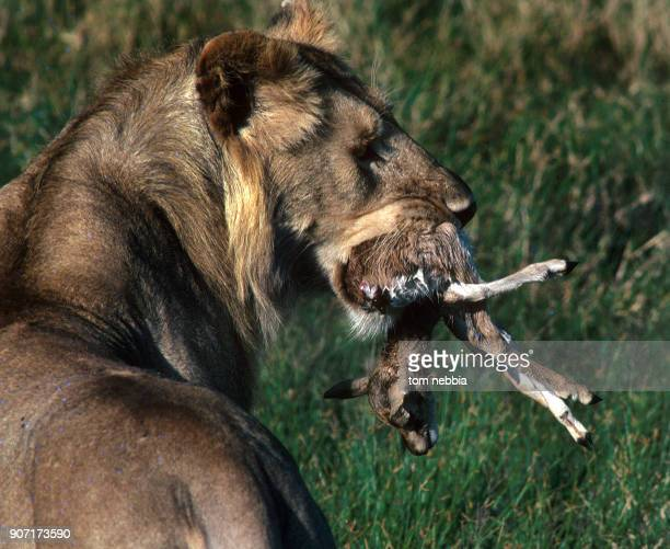 Closeup view of a lion as it carries a dead impala calf in its mouth on Ambosili Game Reserve Kenya 1971