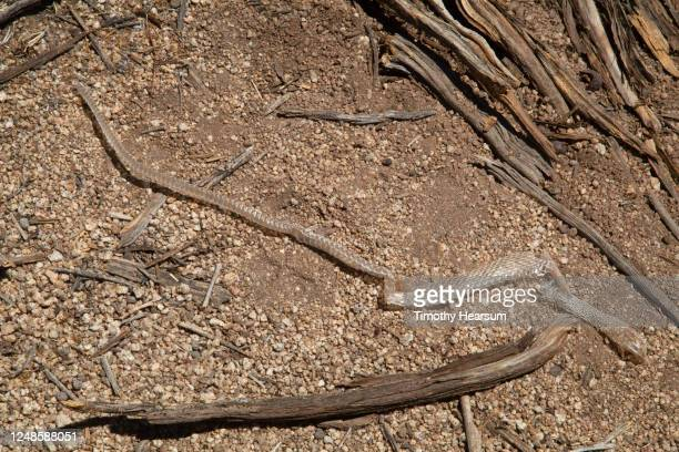 close-up view of a shed snakeskin on the ground among twigs - timothy hearsum stock pictures, royalty-free photos & images