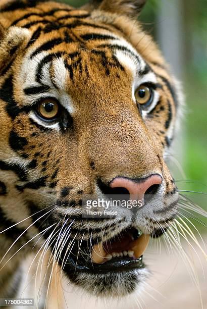 Closeup view of a tiger's face