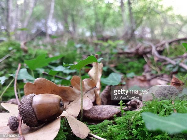 Close-Up View Of Acorns Lying On Forest Grass