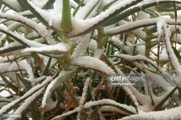 close-up view of aloe vera plant (aloe barbadensis miller) covered with snow - timothy hearsum stock pictures, royalty-free photos & images