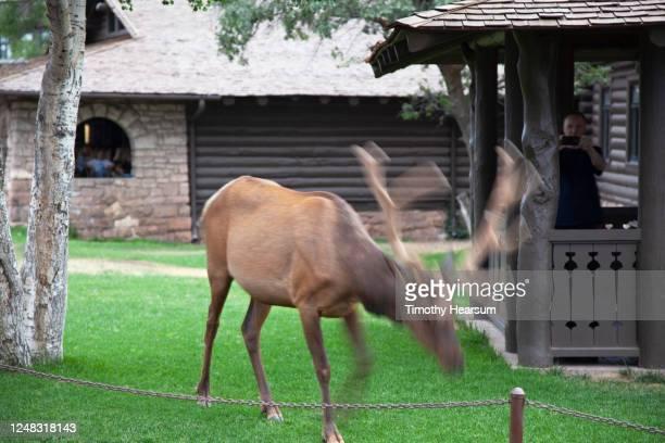 close-up view of an elk grazing among buildings in grand canyon village. az - timothy hearsum fotografías e imágenes de stock