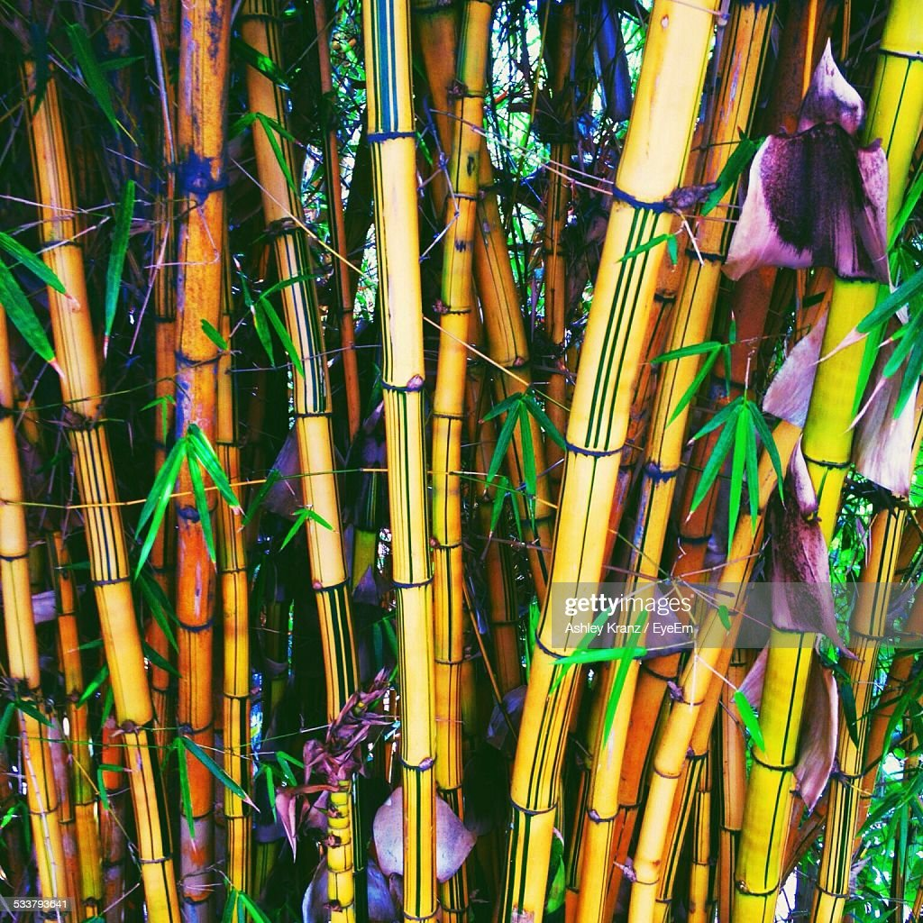 Close-Up View Of Bamboo : Stockfoto