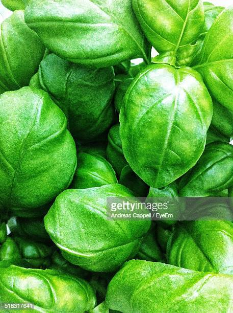 Close-up View Of Basil Leaves