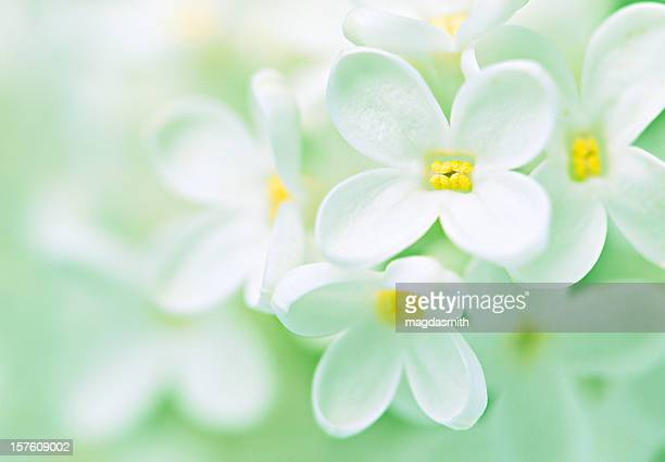 a close-up view of beautiful white petal lilacs - magdasmith stock pictures, royalty-free photos & images