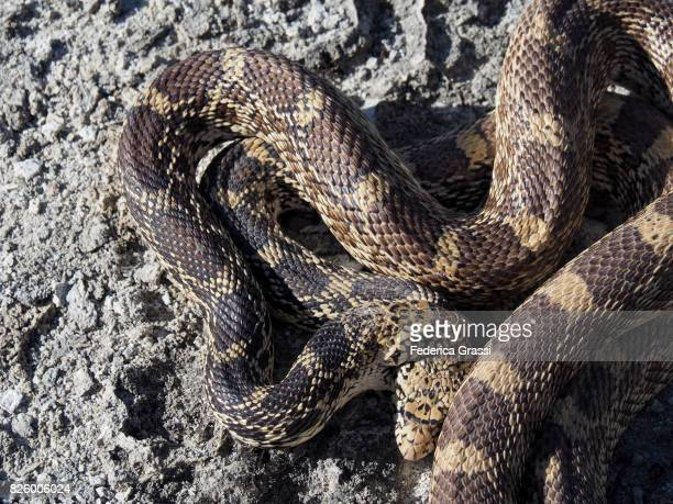 close-up view of bullsnakes courtship - bull snake stock pictures, royalty-free photos & images