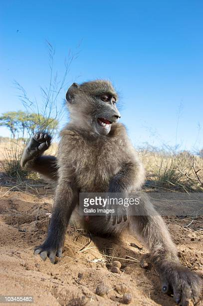 close-up view of chacma baboon (papio usinus) sitting in sand, namibia - chacma baboon stock photos and pictures