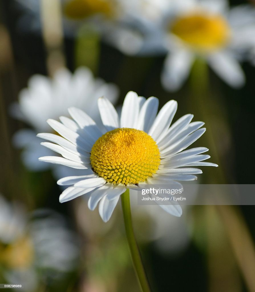 Close-Up View Of Chamomile Plant : Stock Photo