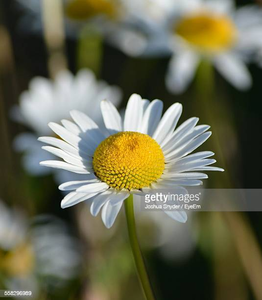 Close-Up View Of Chamomile Plant