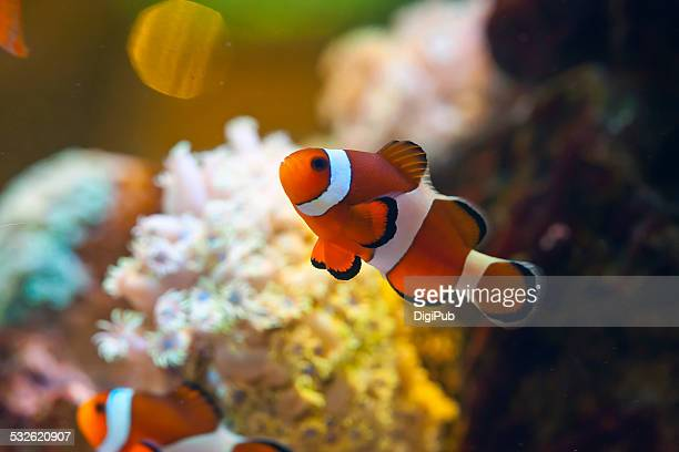 Close-up View Of Clown Fish