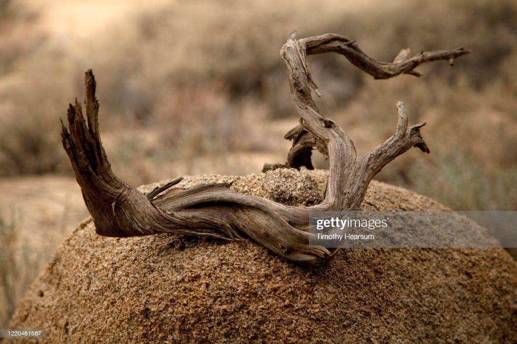 "Close-up view of ""desert driftwood"" on a boulder in Joshua Tree National Park : Foto de stock"