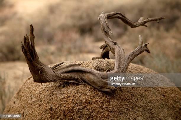 "close-up view of ""desert driftwood"" on a boulder in joshua tree national park - timothy hearsum fotografías e imágenes de stock"