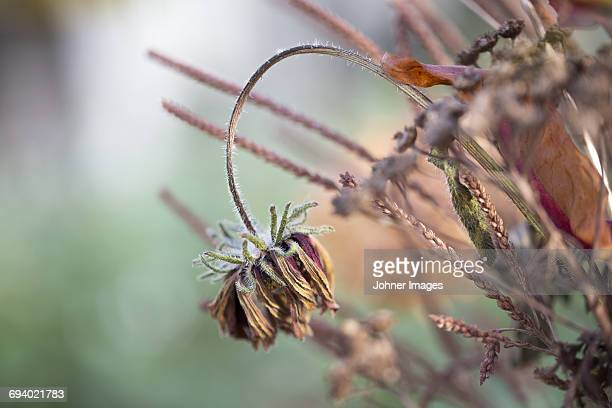 Close-up view of dried flower